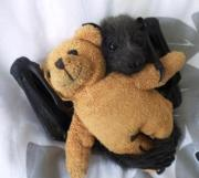 Pants loves to cuddle as all bats do.